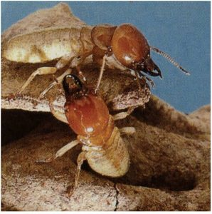 Termite Identification-Mastotermes Termites