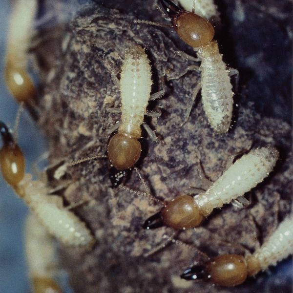 Coptotermes species - Termites & White Ants