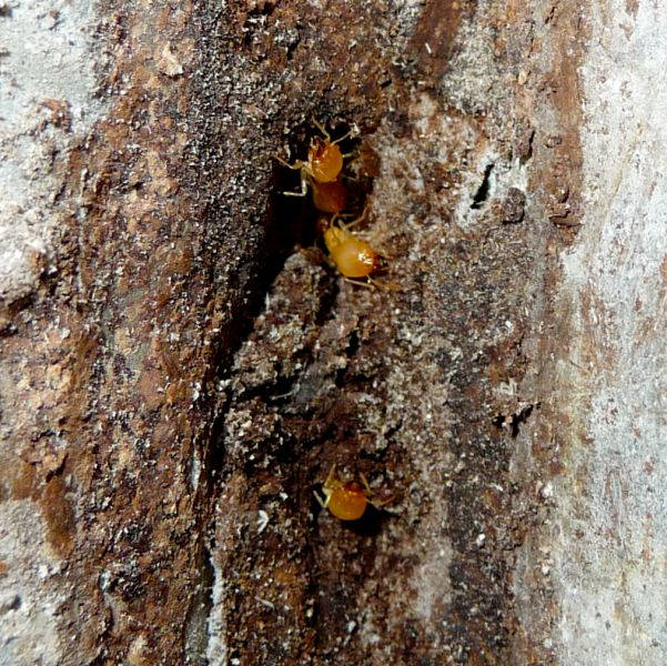 Schedotermes soldiers - Termites & White Ants