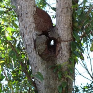Termite nest in tree N.walkeri