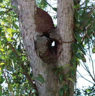 about-termites-nasute-nest-in-trees-termite-trap