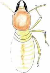 giant-termite