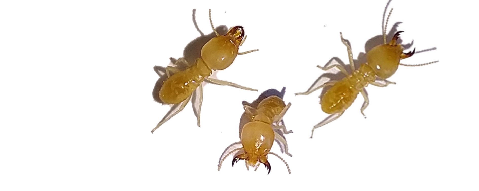 How To Get Rid Of White Ants Diy White Ants Treatment Control