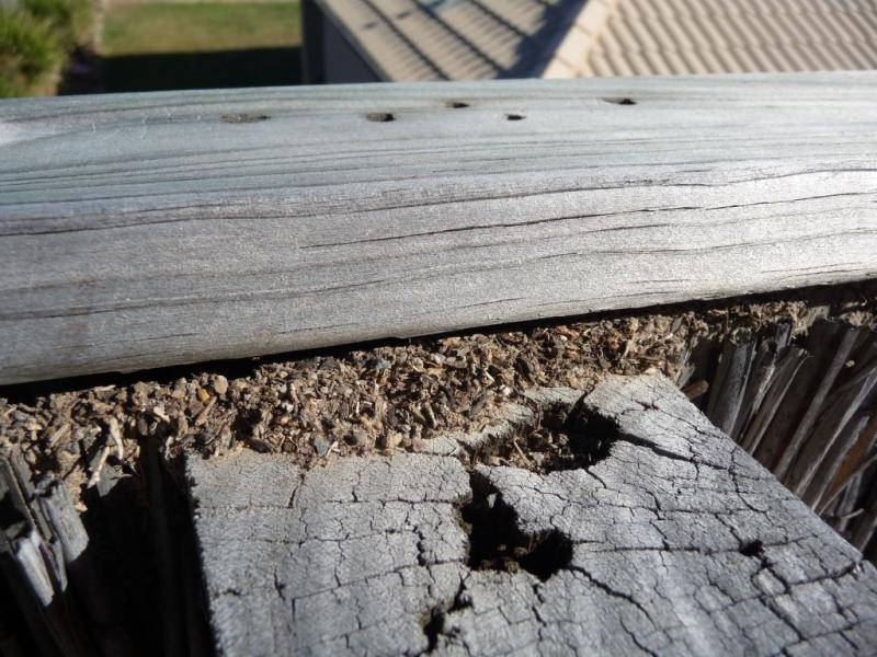 "Closed-up of a wood with a termite location, from the blog ""termite pictures""."