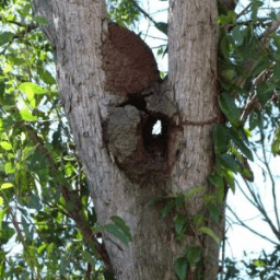 Closed-up of a termites nest on a tree branch.