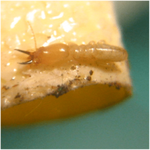 Brown colored termite namely the Nasutes with black jaws.