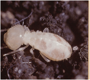A white colored termite on a ground soil.