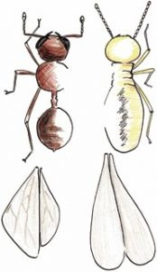 Ants Are Not Your Friend Termites White Ants Control