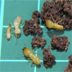 Group of termites namely Schedorhinotermes Intermedius, Identifying termites page.