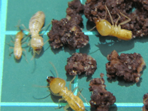 Group of termites namely Schedorhinotermes Intermedius.