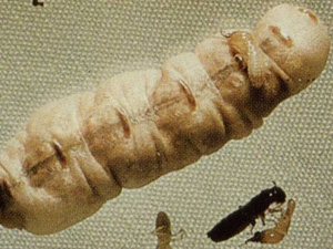 An egg-laying factory of termites namely Coptotermes Queen.