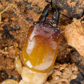 A termite namely Neotermes Soldier.